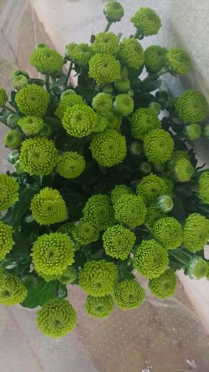 Fresh Chrysanthemum Flowers
