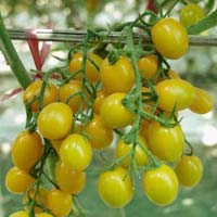 Yellow Jelly Bean F1 Tomato Seeds