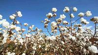 Indian Cotton