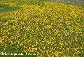 Dandelion flower Tea c&s