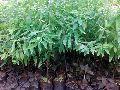 White Sandalwood Plants