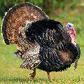 Turkey Chicken