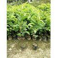 Allahabadi Red Guava Plant