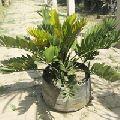 Zamia Palm Plant