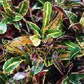 Mammy Croton Plant