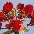 Red Bougainvillea Plant