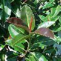 Rubber Leaf Plant