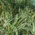 White Dracaena Plant