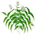 Green Neem Leaves