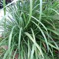 Baby Lemongrass