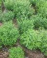 Fresh Stevia Plant