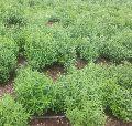 Natural Stevia Plant