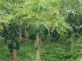 Organic Raw Papaya Plant