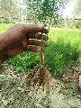 Pharma Shatavari Plant