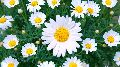 Fresh Daisy Flowers
