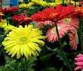Natural Gerbera Flowers