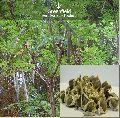 Moringa Tree Seeds ( Moringa oleifera )