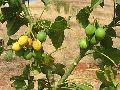 Ratanjot Seeds