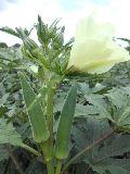 UN Kalyan F1 Okra Seeds