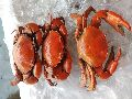Cooked Red Live Mud Crab
