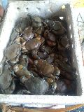 Red live mud crab