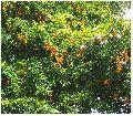Duranta erecta Tree Seed