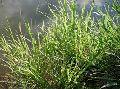 Panicum Maximum Grass Seed