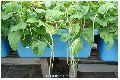 Vigna sinensis Tree Seed
