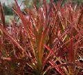 Dracena Colorama Plant