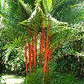 Cyrtostachys Renda Palm