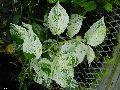 variegated money plant