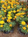 Hybrid Marigold (Genda) Plant