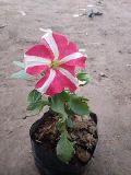 Kitoniya Winter Flowers Plant