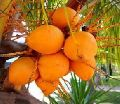 Orange Tender Coconuts