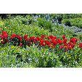 Dutch Rose Plant