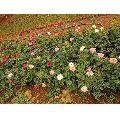 Garden Rose Plant
