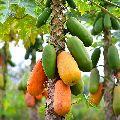 Mature Papaya Plant