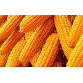 High Quality Whole Yellow Maize
