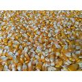 Pure Yellow Corn Seeds