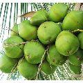 Green Water Coconut