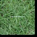 Bermuda Lawn Grass B Grade