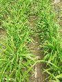 Fresh Lemon Grass Plant
