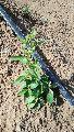 Fresh Stevia Plants
