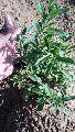 Natural Stevia Plants