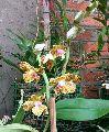 Hygrochilus Parishii Orchid Flower
