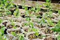 Balaji Lemon Grafted Plant
