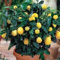 Imported Italian Seedless Lemon Plant