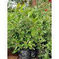 Karonda Hybrid Plant