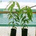 Mango Seedless Grafted Plant