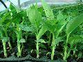 Banana G9 Plant